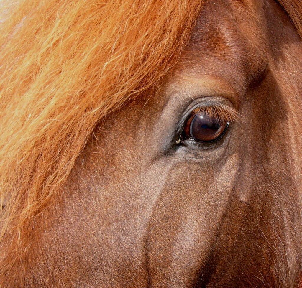 Augun eru gluggar sálarinnar, þau gefa okkur upplýsingar um líðan hesta.
