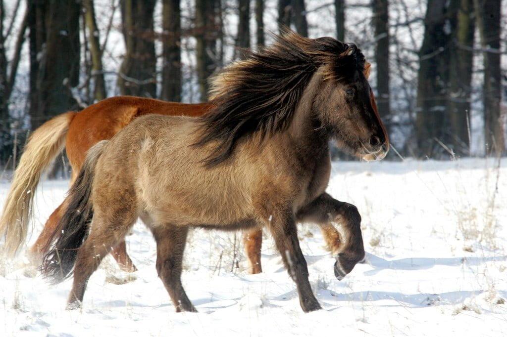 Best þróuðu skynfæri hesta eru þau sem vara við mögulegri hættu.